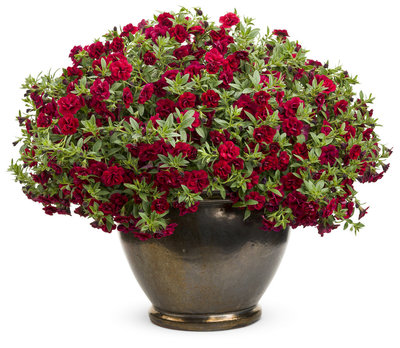 Millionbells - Calibrachoa Double Ruby